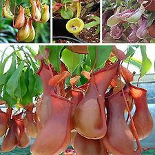 GUT 20 Samen Venusfliegenfalle Fleischfressende Pflanze Fliegenfalle Nepenthes