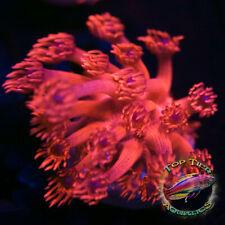 New listing Ora Blue Dot Goni - Wysiwyg Live Coral Frag- Top Tier Aquatics