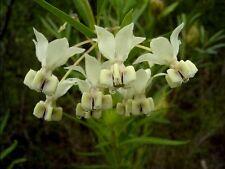 Gomphocarpus fruticosus - Balloon Cotton - Fresh Seeds