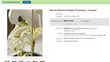 "Monstera Adansonii Variegata ""Archipelago"" - variegated"