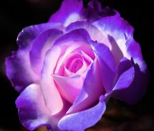 Violet and Blue Midnight Rose Bush Seeds - Rare, Exotic & Beautiful USA SELLER