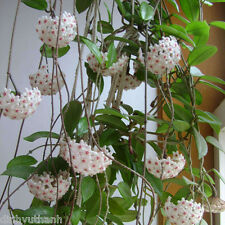 Hoya Seeds Ball Orchid Seeds Rare Bonsai - 600 Seeds Mixed Color