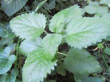 2 PLANTS CATMINT NEPETA CATARIA  MINT CATNIP Hardy Perennial LEMONY AROMATIC