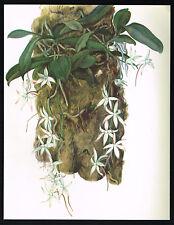 1970's VINTAGE Orchid AERANGIS CITRATUM Flower Botanical Art PRINT