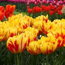 PRE-ORDER - 10 x Monsella Double Tulip bulbs,  Yellow and Red Spring Flowers.