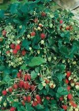 Vivaio ACQUAVERDE Fragola Rampicante (Semente) semi di FRAGOLA RAMPICANTE