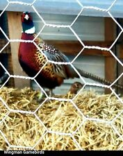 True Jumbo Ringneck Pheasant Hatching Eggs