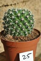 Kakteen,Mammilaria centralifera,grosse 12er Töpfe,Nr.25