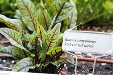 """1,000 Red Veined Herb-Sorrel Seeds - (Rumex Acetosa) """"Large Leaf Sorrel'"""