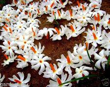 Jasmine Coral/ Fragrant Night Jasmine Flower/ Nyctanthes arbortristis - 10 Seeds