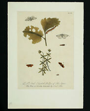 Eleazar Albin Copper Stitch approx. 1720 Insects hand-colored plate engraving