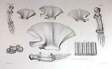"Fine Large Medical Print - ""MAMMIFERES Pl. VII"" - PAW BONES - Lithograph - c1880"