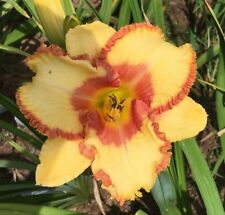 Daylily Plant FACE OF VALOR 2 Fans Perennial Selman Yellow Raspberry Flower