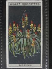 No.30 LACHENALIA or CAPE COWSLIP - Flower Culture in Pots - Wills Ltd 1925