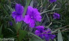 10 Mexican Petunia Ruellia Brittoniana Perennial Plants Shrub Garden Landscape