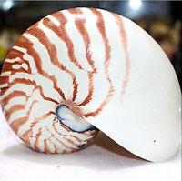 13cm Natürliche Pearly Schraube Nautilus Conch Schale Koralle Sammlerstück DE