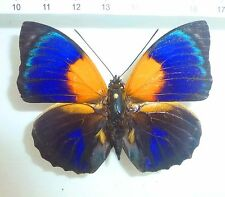 Agrias hewitsonius male with lot of green, Coari, Estdo.Amazonas, Brasilien n245