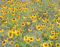 10,000 + Black-Eyed Susan Seeds, Open Pollinated and Non-GMO, FREE SHIPPING