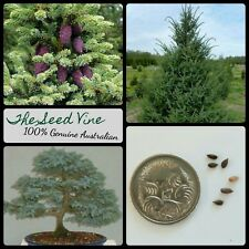 10+ BLACK SPRUCE SEEDS (Picea mariana) Conifer Evergreen Bonsai Garden