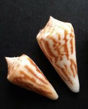 Panamic Cones: 2 Conus virgatus, 38 & 46mm, excellent condition, one w/operculum