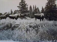 """RPPC AK ALASKA, ALASKAN MOOSE IN THE WILDERNESS REAL PHOTO """"EKC"""" B&W POSTCARD PC"""