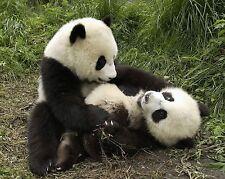 Panda Bear 8x10 Picture Celebrity Print