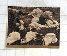 1937 Shearing Sheep On Open Moorland Isle Of Lewis Outer Hebrides