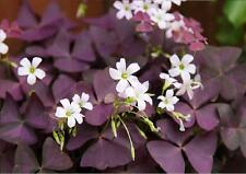 Oxalis Triangularis Purpurea x 5 Flowering Bulbs
