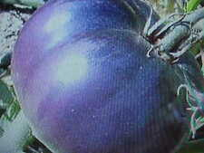 Garden Favorite Large Deep Purple Meat Tomato 50 Seeds Extra Sweet, Low Acidity