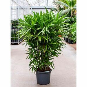 Rhapis excelsa Steckenpalme Schirmpalme Zimmerpflanze verschiedene Größen