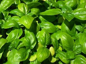 Basil Genovese (Large Leaf) 200 seeds