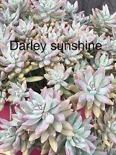 Graptosedum Darley Sunshine