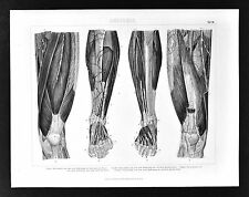 1874 Bilder Anatomical Print  Leg & Feet Muscles Tendons Ligaments Human Anatomy