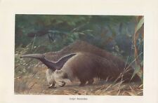 Großer Ameisenbär ( Myrmecophaga tridactyla ) Farbdruck 1912