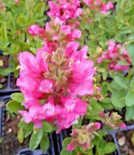 Salvia Loam Perennial Flowers & Plants