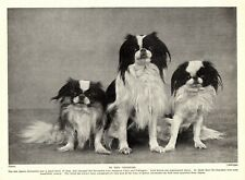 1930s Antique Japanese Chin Dog Print Vintage Photo 3429dd