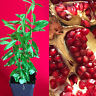 Pomegranate Punica Granatum Indian River Seedling PLANT Fruit Tree Potted 3-8""