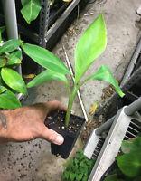 Dwarf Hawaiian Apple - Dwarf Brazilian Banana Plant - Live Plant
