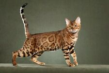 Bengal Cat 8X10 Glossy Photo Picture