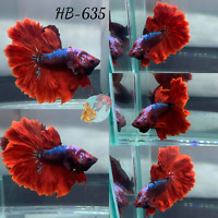 (HB-635) Red Dragon Scale Feather Tail -Live Halfmoon Betta Fish Premium Quality