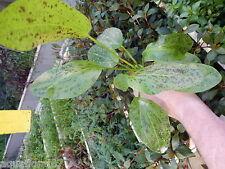 1 pot d echinodorus ocelot vert  plante aquarium tres rare made in france