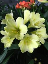 1x Clivia m. 'Hirao' Sprouted Seed. National Collection Holders. GREEN Flowering