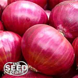 Red Creole Onion Seeds - 150 SEEDS NON-GMO