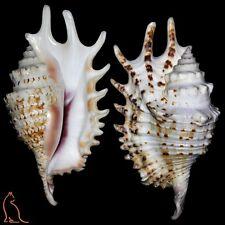 Lambis Ophioglossolambis violacea - 125.7 mm, Mauritius, Strombidae sea shell
