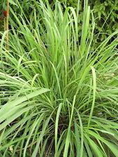 Huile essentielle Lemongrass Citronnelle de Madagascar pure et naturelle 1 litre