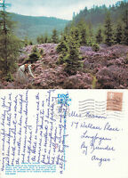1985 SCOTTISH HEATHER IN THE HIGHLANDS SCOTLAND COLOUR POSTCARD