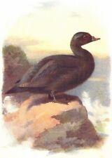 BIRDS. Scoter. Common 1901 old antique vintage print picture