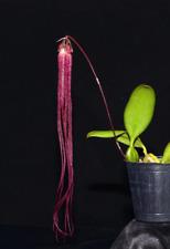 Orchid Species Bulbophyllum treschii Bloom Size