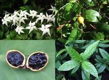 Randia Formosa, marmeladenfrucht, blackberry Jam fruit, 10 semillas