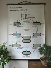 PULL DOWN SCHOOL WALL CHART/POSTER OF MULTIPLICATION CYCLE OF BACTERIAL VIRUSES